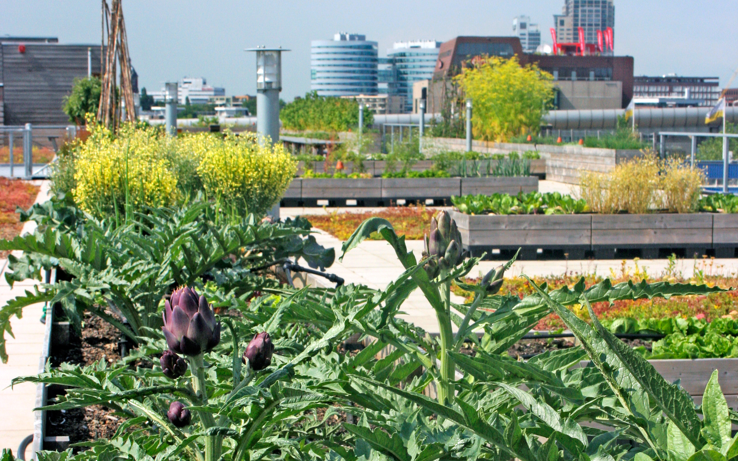 Artichokes and other plant beds on a rooftop