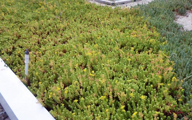 Sedum vegetation on a roof